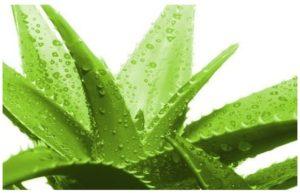 Beneficios de los remedios caseros con Sábila