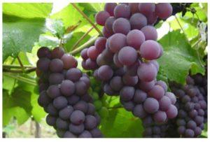 Historia de las uvas transgénicas